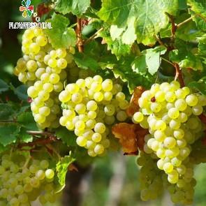 Witte druif (vitis vinifera solaris 4-stok)